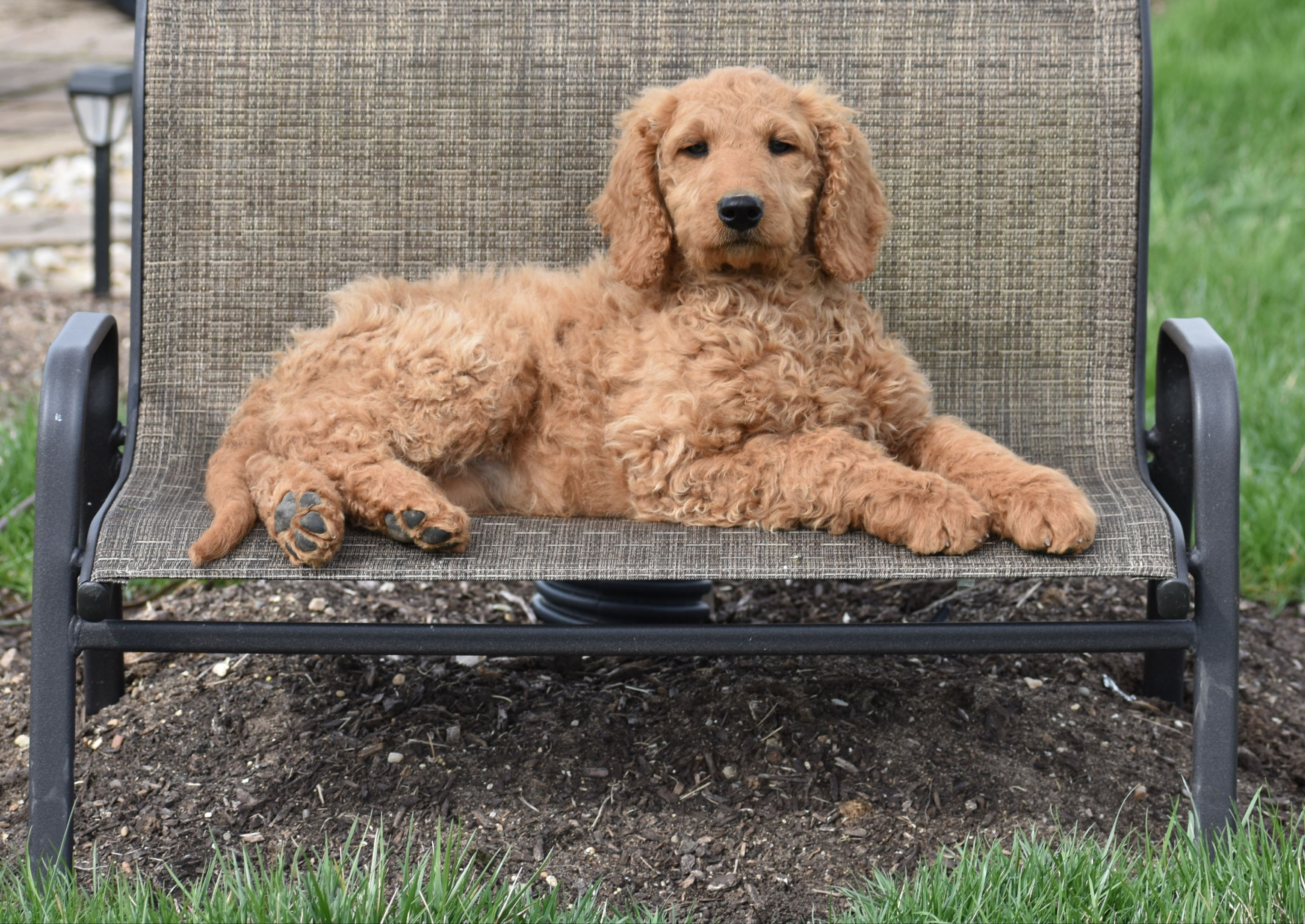 Meet Tessa F1b Female Goldendoodle For Sale In Syracuse Indiana
