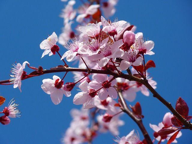 Free Image On Pixabay Tree Flowers Cherry Blossom Japanese Cherry Tree Japanese Cherry Blossom Almond Blossom
