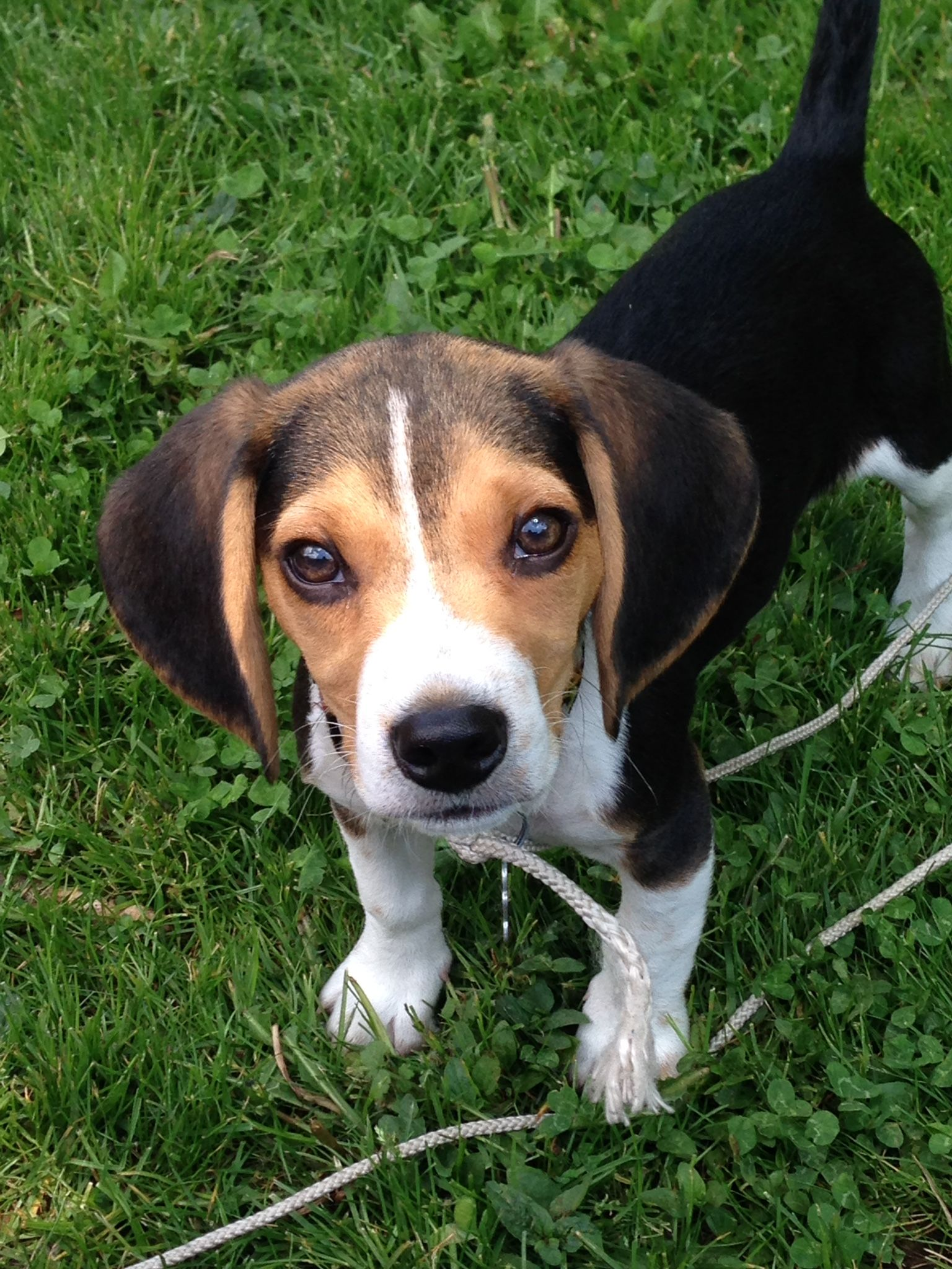 I M Ready For My Close Up Beagle Animals Corgi