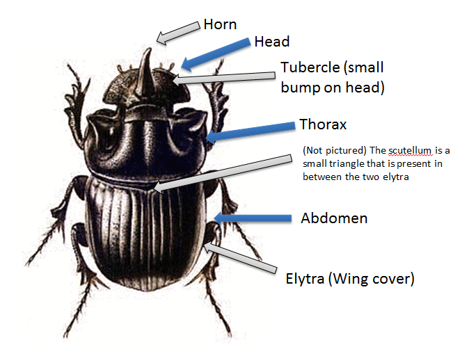 This Is A Diagram Of The General Anatomy Of The Dung Beetle This