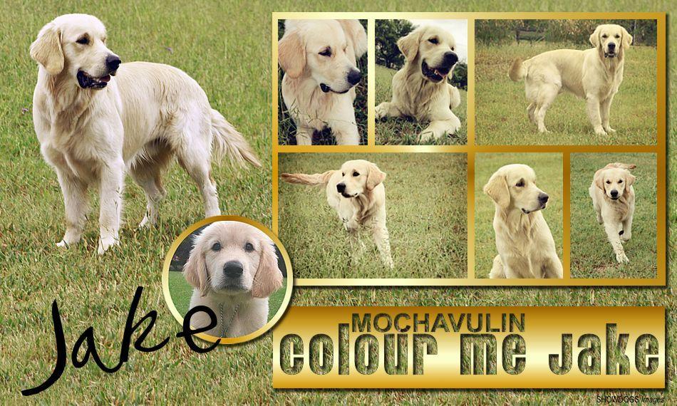 Mochavulin Colour Me Jake Mochavulin Golden Retrievers In South