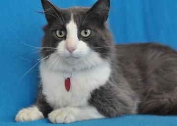 Socks Is A Shy Young 2 3 Years Old Cat At The Humane Society In Buffalo Mn Waiting For A Good Home Handsome Fellow Purebred Cats Old Cats Service Animal
