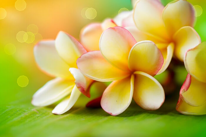 Plumeria Flower Meaning Flower Meaning In 2020 Plumeria Hibiscus Flower Meanings
