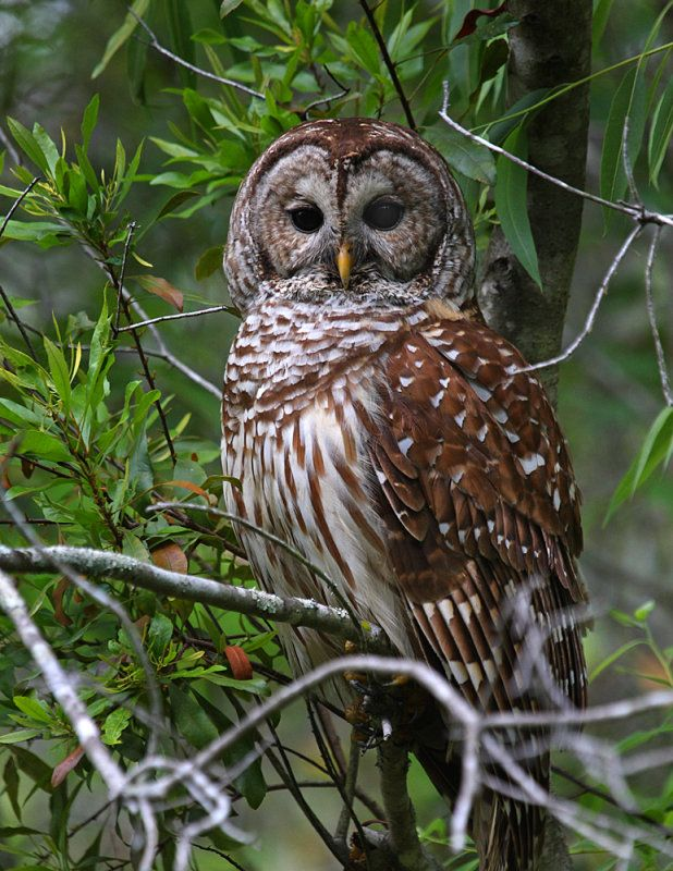 hoot owls have such pretty feathers Owl, Owl pet, Barred owl