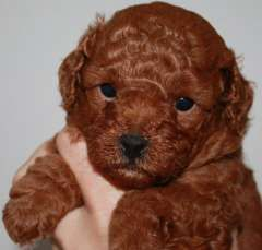 Dark Red Female Poodle Pups Toy Poodle Puppies Www Pups4sale