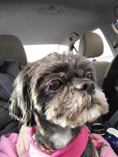 Shih Tzu Dog For Adoption In Rochester Ny Adn 755695 On