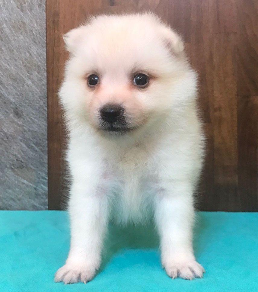 Ziggy Japanese Spitz Puppies Dogs