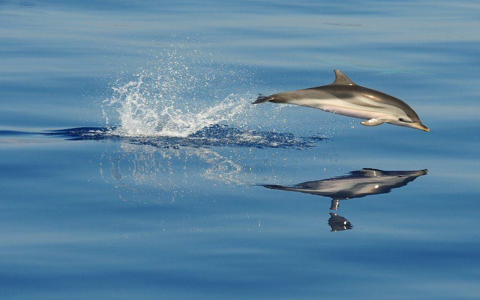 hermosos delfines wallpaper