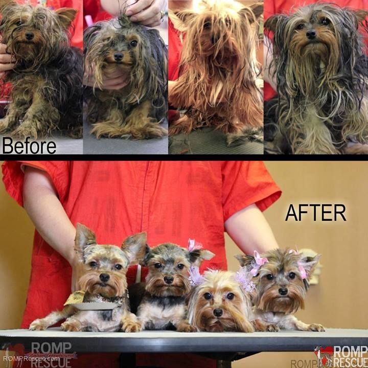 rescued Chicago Yorkie puppies, Chicago yorkie puppies ...