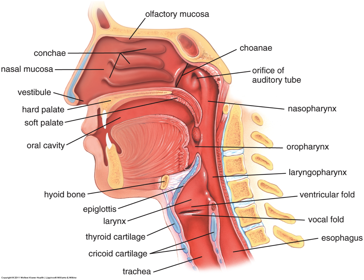 Picture of Your Sinus Cavities | Nasal Cavity Related Keywords ...
