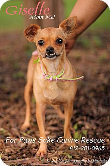 Indianapolis In Chihuahua Meet Giselle A Dog For Adoption Dog Adoption Pets Chihuahua