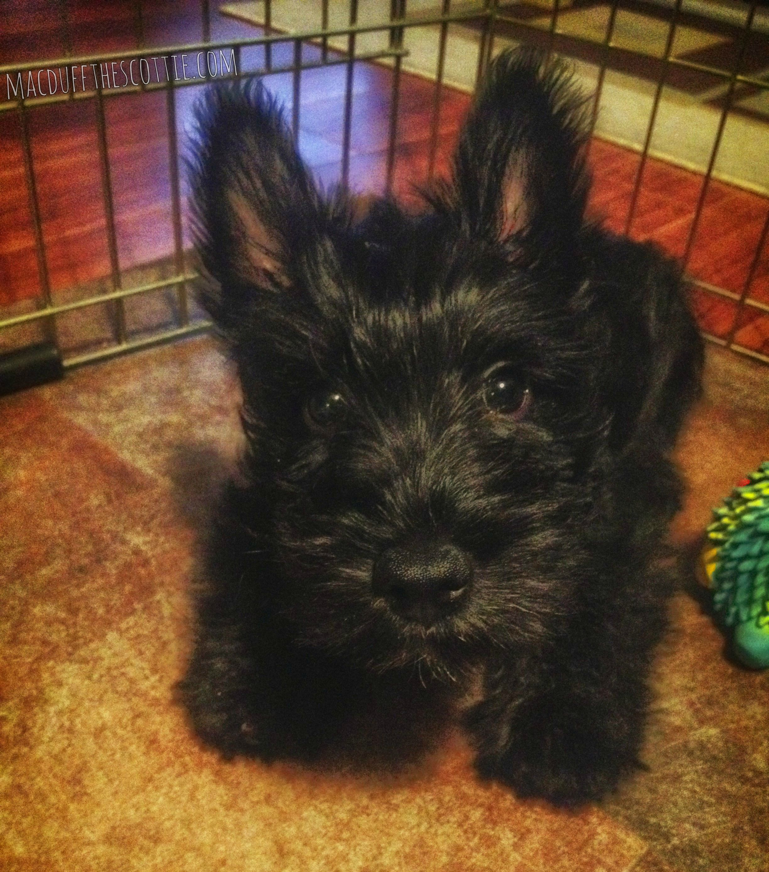 Macduff The Scottie Scottie Puppies Scottie Dog Puppies And