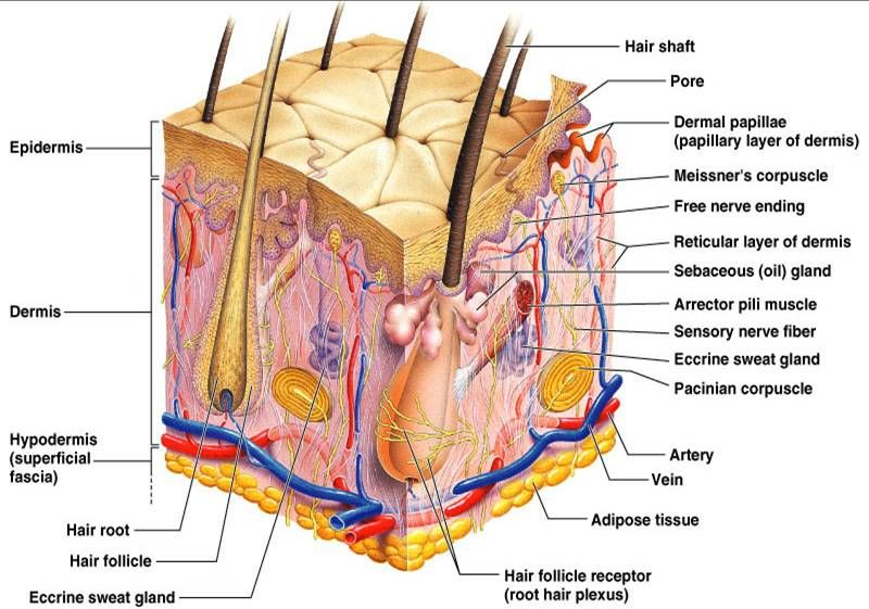 Anatomy And Physiology Skin Detailed Derma Pinterest
