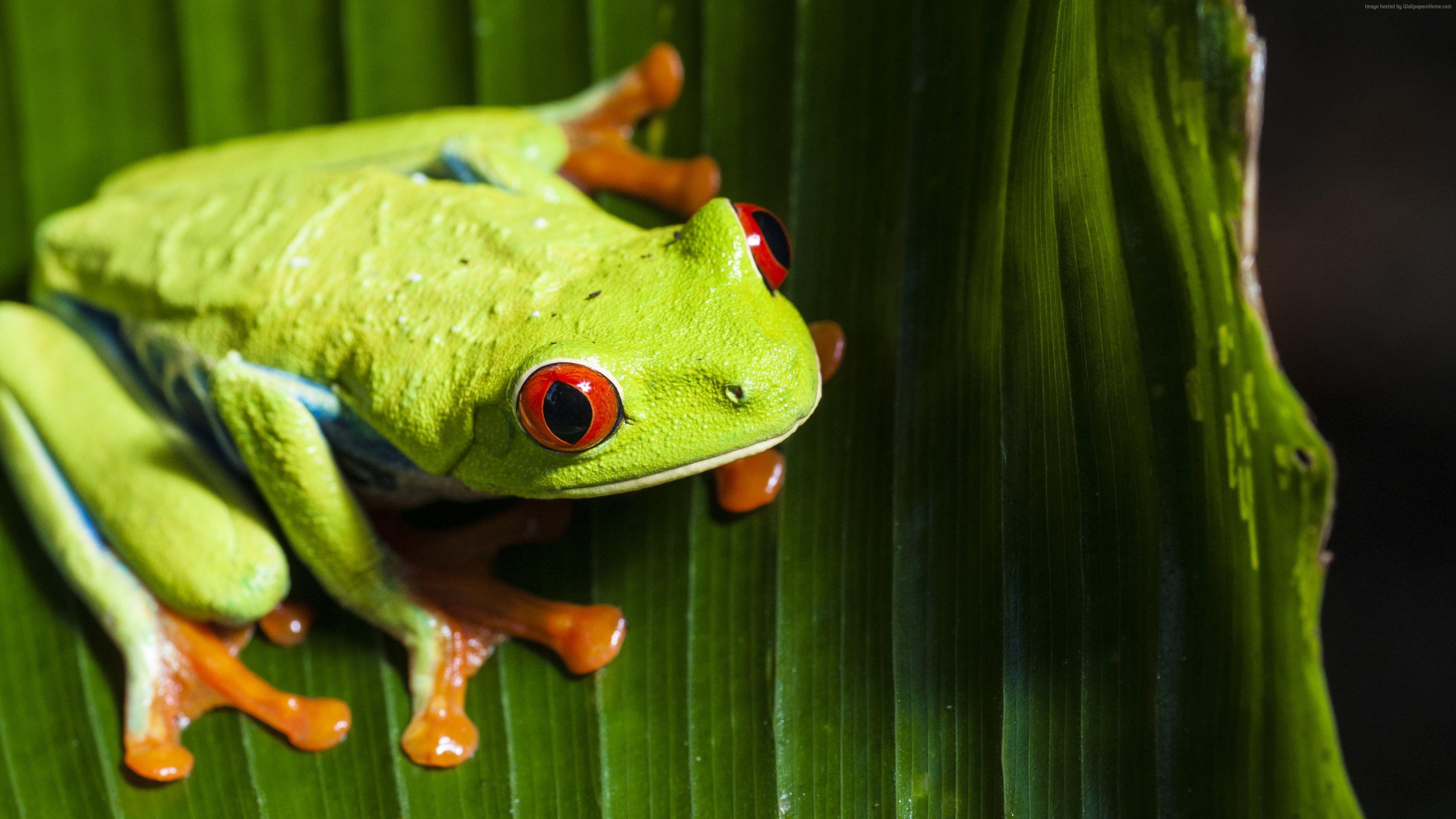 Wallpaper Frog Green 4k Animals Https Www Pxwall Com Wallpaper Frog Green 4k Animals Animal Wallpaper Red Eyed Tree Frog Animals