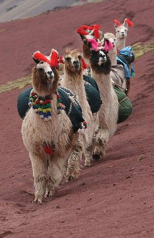 Every step you take llamas at work. Llama pictures