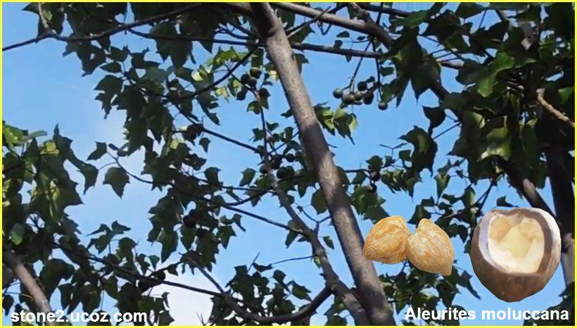 انواع الوريتس نوع من انواع المكسرات Aleurites قائمة الفواكهة النبات معلومان عامه معلوماتية Fruit Pear Food