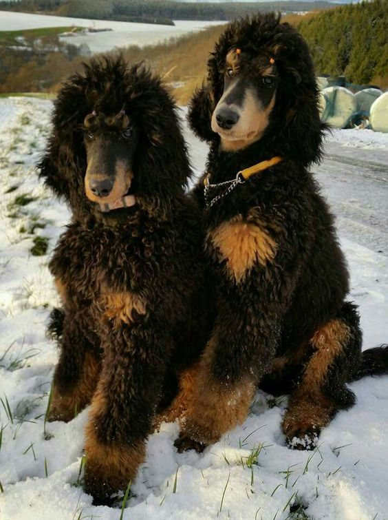Phantom Standard Poodles Dexter And Rambo One Great Team R