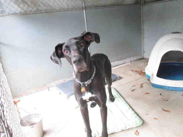 Great Dane Dog For Adoption In Santa Barbara Ca Adn 545504 On