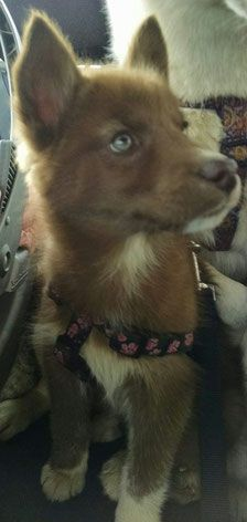 Akc Siberian Husky Puppies For Sale In Ohio Mostly Red Siberian