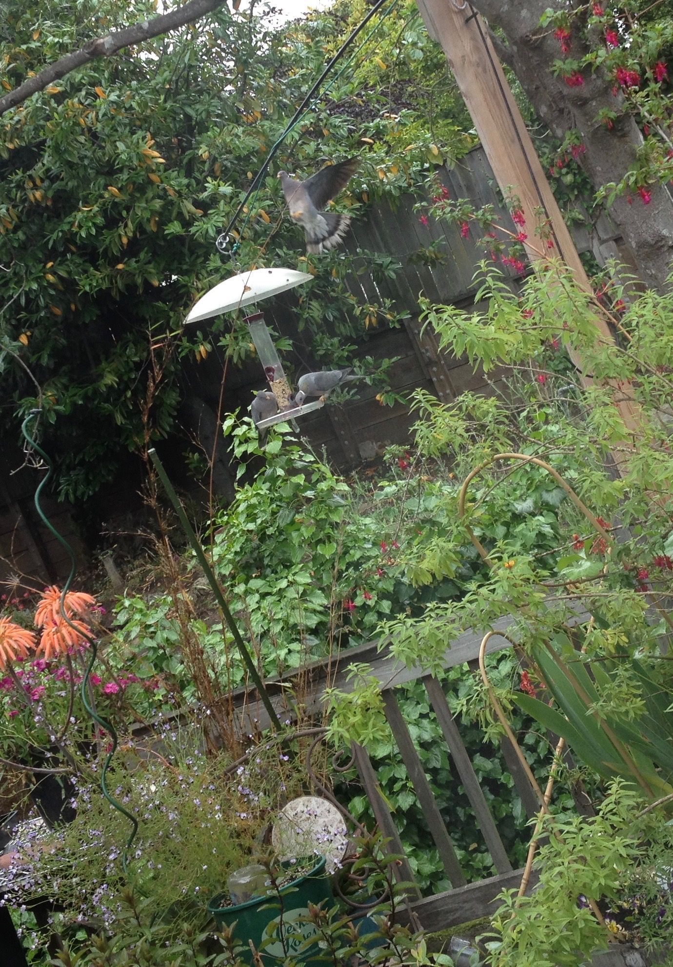 banded tail pigeons in my backyard 5 2016 two pair quite big