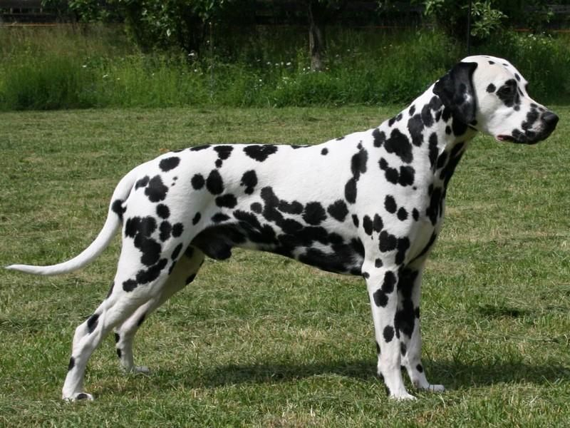 Dalmation Dog Photo Buy Dalmatian Puppies Keys To Pet Pune