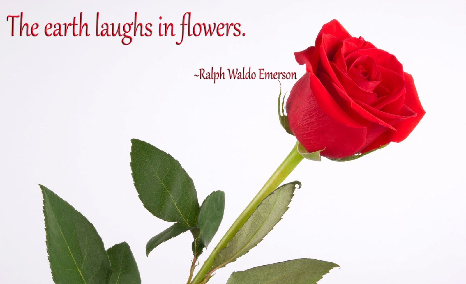 50 Best Rose Quotes To Show Your Love Rose quotes, Rose