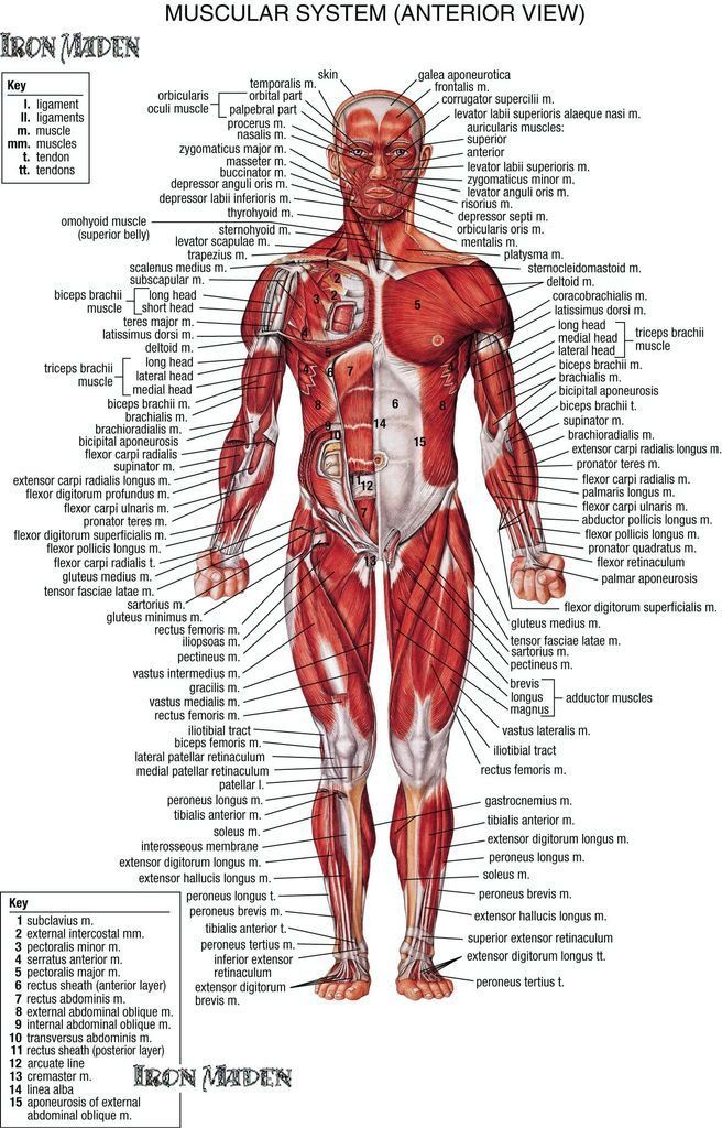 Human Body Diagram Pdf - Schematics Wiring Diagrams •