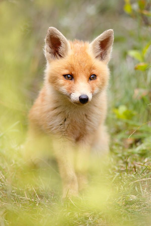 Life's little treasures | beautiful-wildlife:   Soft FoxbyRoeselien...