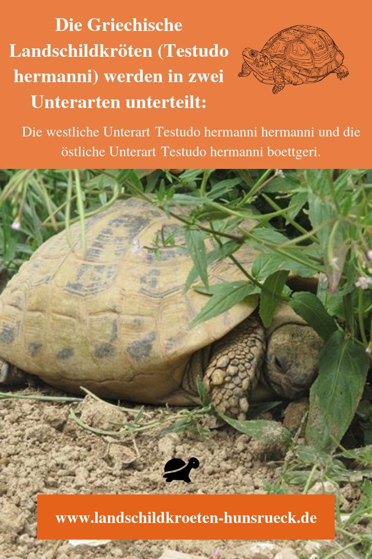 griechische landschildkröten in 2020  landschildkröten