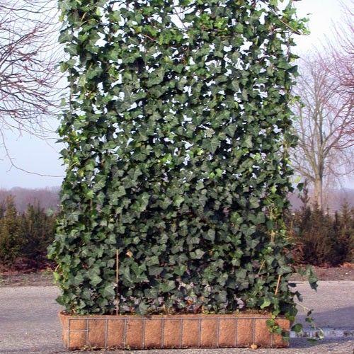 Lierre grimpant sur grillage terrasse pinterest planters and gardens - Lierre grimpant sur grillage ...