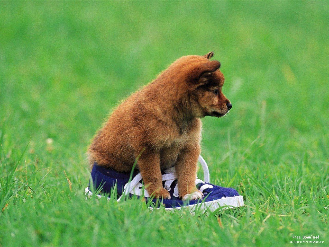 Shiba Pups