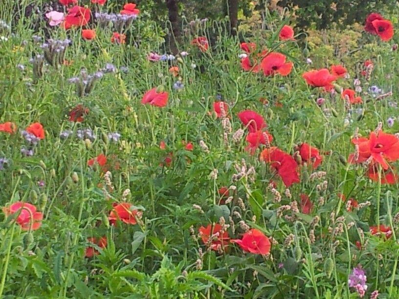 Irish Wildflower Meadow Amazing Nature & Flowers Wild