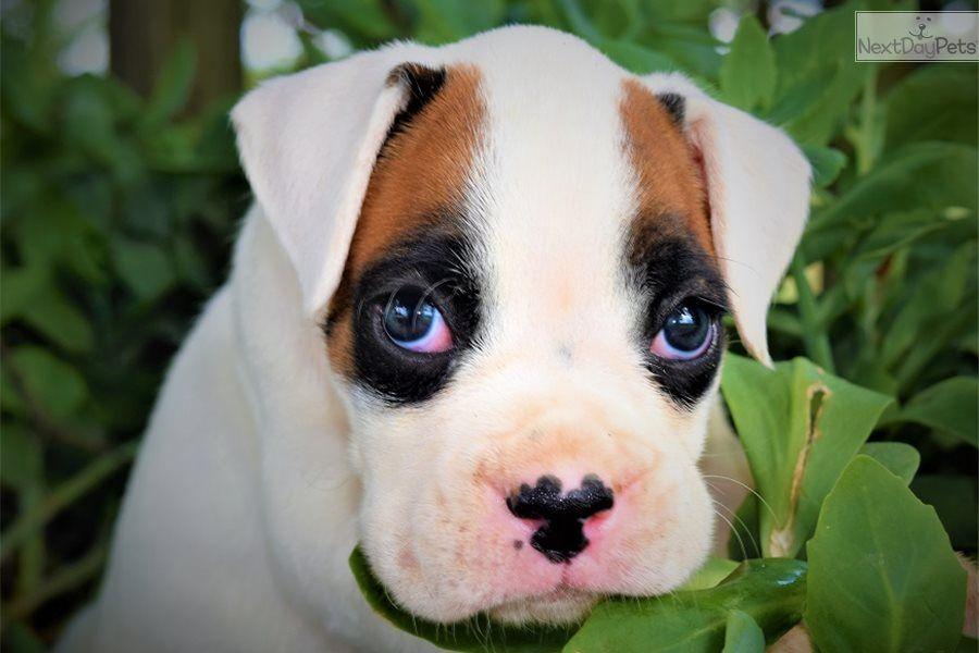 Black Boxer Puppy For Sale Zoe Fans Blog Black Boxer Puppies