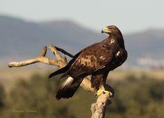 Águila real posada en una rama