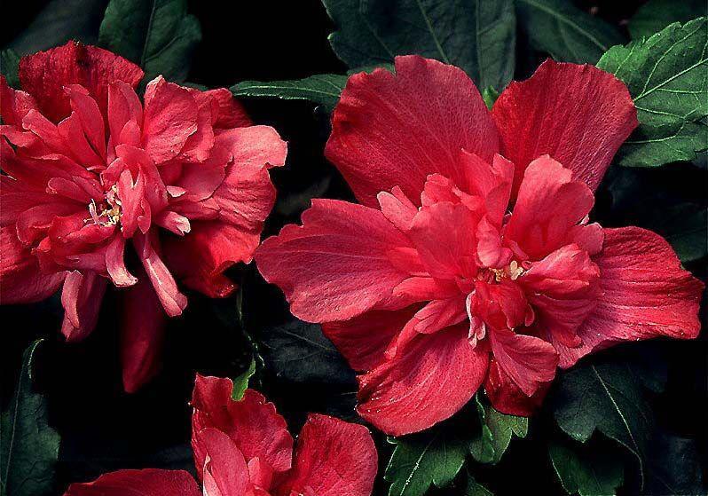 Hibiscus Syriacus Freedom Hibiscus Rose Of Sharon Altheastruik