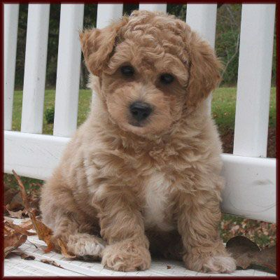 Poochon Puppy I Want One Poochon Puppies Poodle Puppy