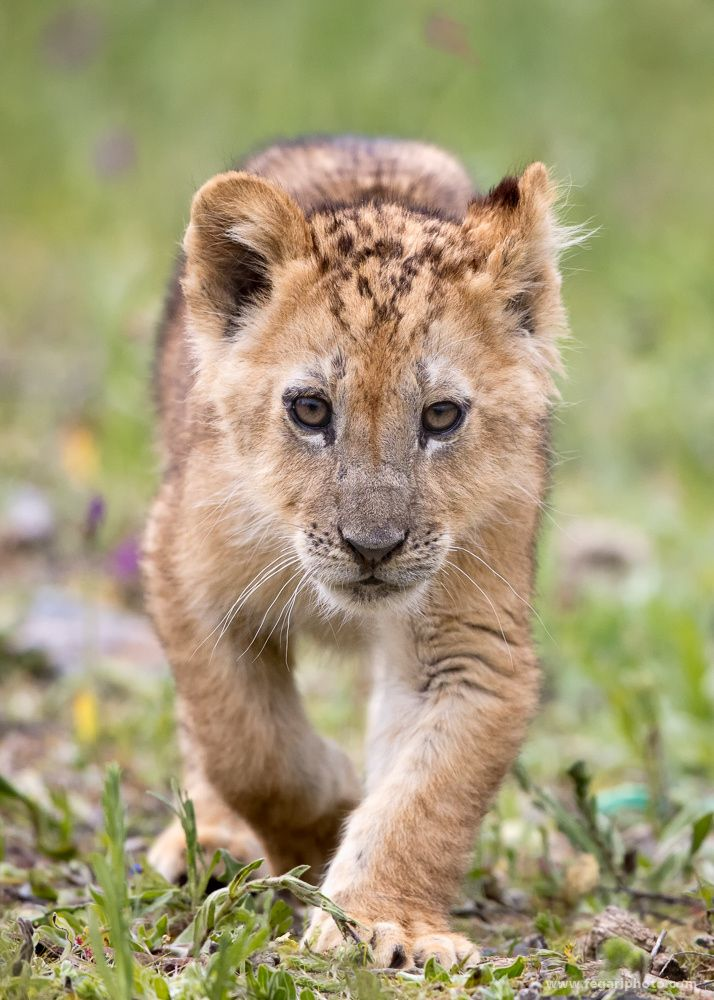 Hunting Photographers - This lion cub thought I woud made a nice meal