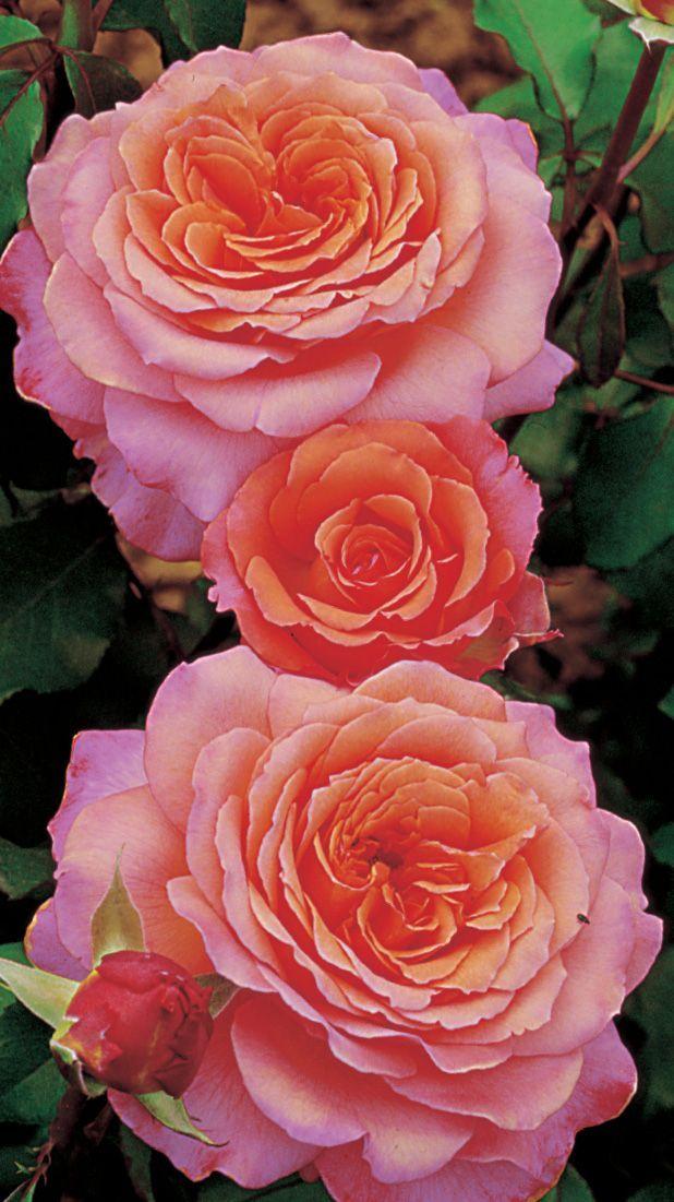 Albrecht Dürer Rose®. Deze nostalgische roos heeft extreem grote bloemen met een heerlijk milde geur. De schilderachtige bloemen zijn perzik- tot abrikooskleurig. Vanaf het tweede groeiseizoen toont deze roos zijn volle groeikracht. De roos komt het best tot zijn recht in groeps-beplantingen. Ook als snijroos heeft deze roos goede eigenschappen.