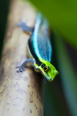 Phelsuma Klemmeri by Milan Zygmunt | Reptiles and amphibians ...