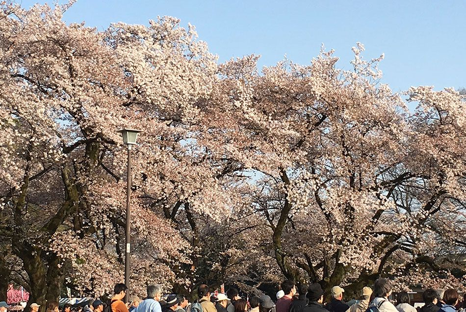 When And Where To See Cherry Blossoms In Tokyo In 2020 The Official Tokyo Travel Guide Go Tokyo Cherry Blossom Festival Tokyo Travel Guide Tokyo Travel
