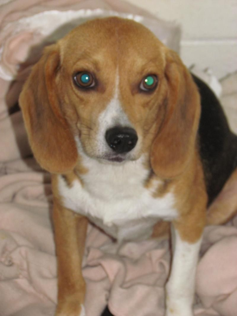 Adopt Uncle Sam Cgc Prepped On Adoptable Beagle Pet Finder