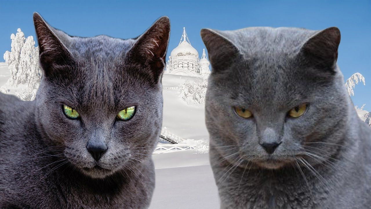 Russian Blue Vs Chartreux Difference Explained Russian Blue Russian Blue Cat Grey Cats