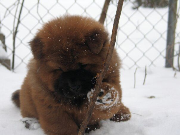 My Gabriel In The Michigan Snow Charmar Kennels Chow Chow Dogs