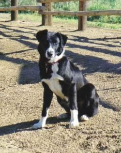 Anahola Mcnab Dog Cute Dogs Breeds Herding Dogs