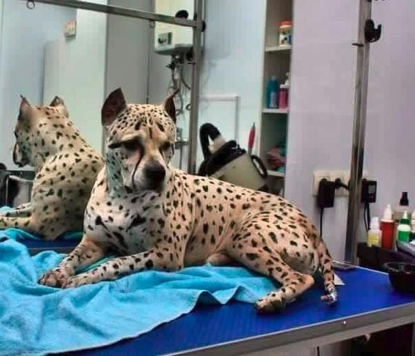 At first glance, you may think Titus is a cheetah, but look again. This dog is so rare, that he's the only one of his kind in his entire breed. Wow! Can you believe this?