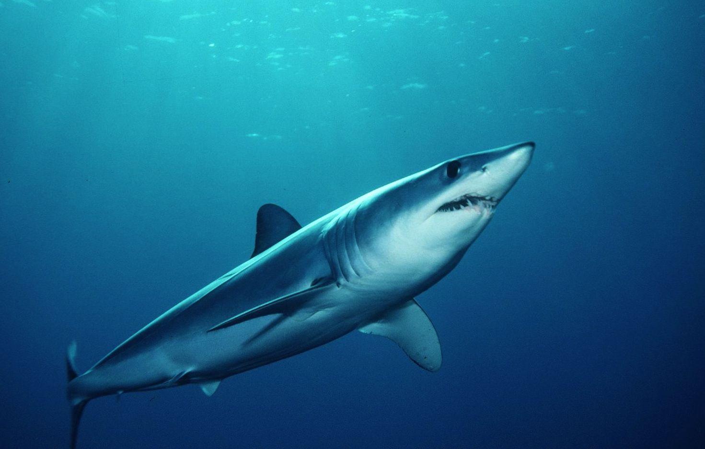 Salmon Mako Shark | Salmon Shark | Sharks | Pinterest