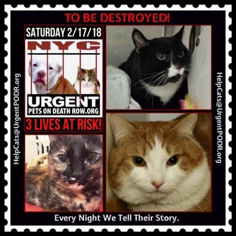 """3 INNOCENT LIVES TO BE DESTROYED 02/17/18 - - Info Please share View tonight's list here: http:// nyccats.urgentpodr.org/ tbd-cats-page/. The shelter closes at 8pm. Go to the ACC website( http:/www.nycacc.org/ PublicAtRisk.htm) ASAP to adopt a PUBLIC LIST cat (noted with a """"P"""" on their profile) a… CLICK HERE FOR ADDITIONAL INFO/P...- Click for info & Current Status: http://nyccats.urgentpodr.org/to-be-destroyed-32017/"""