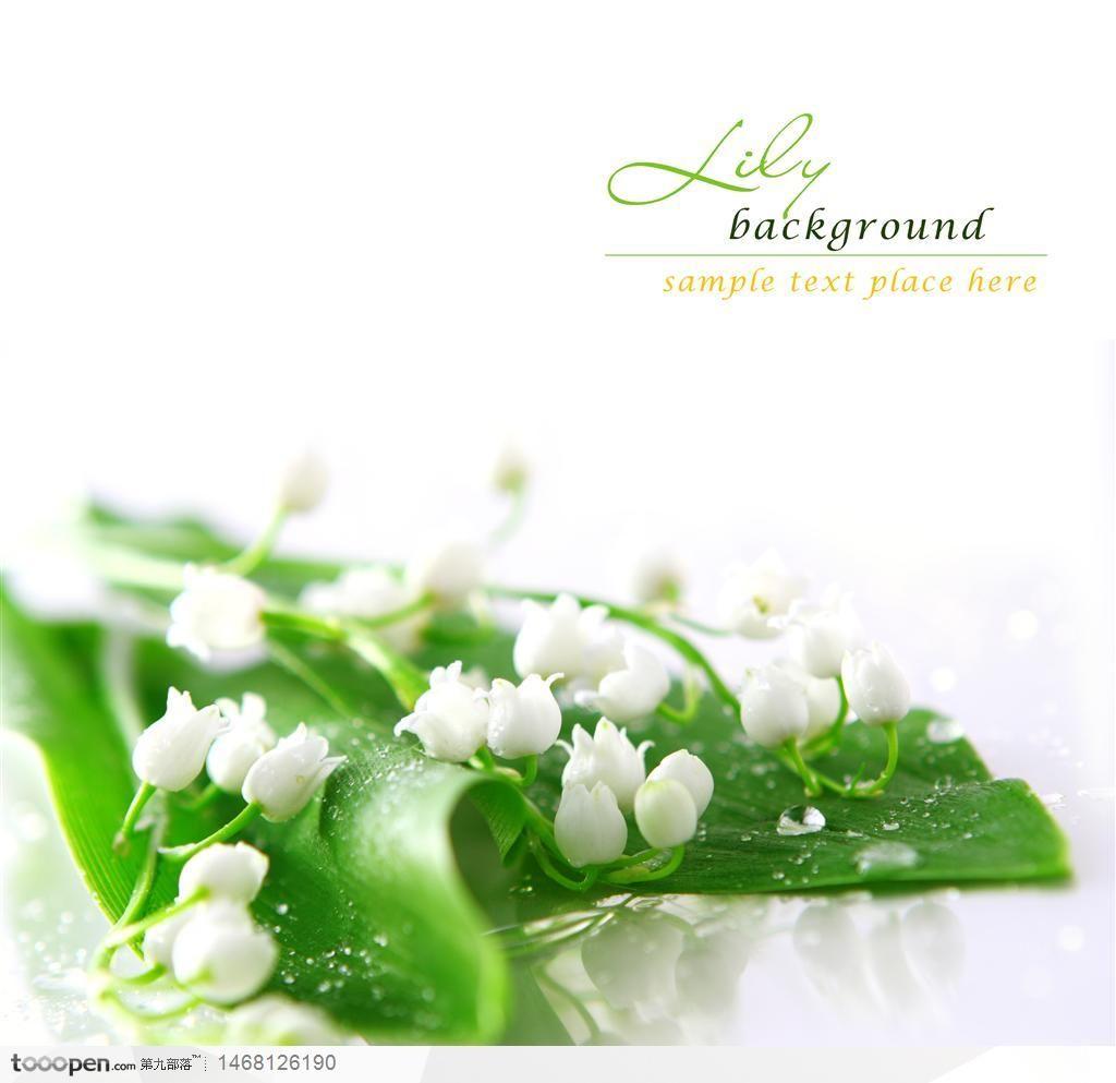 含苞待放的白色康乃馨高清图片