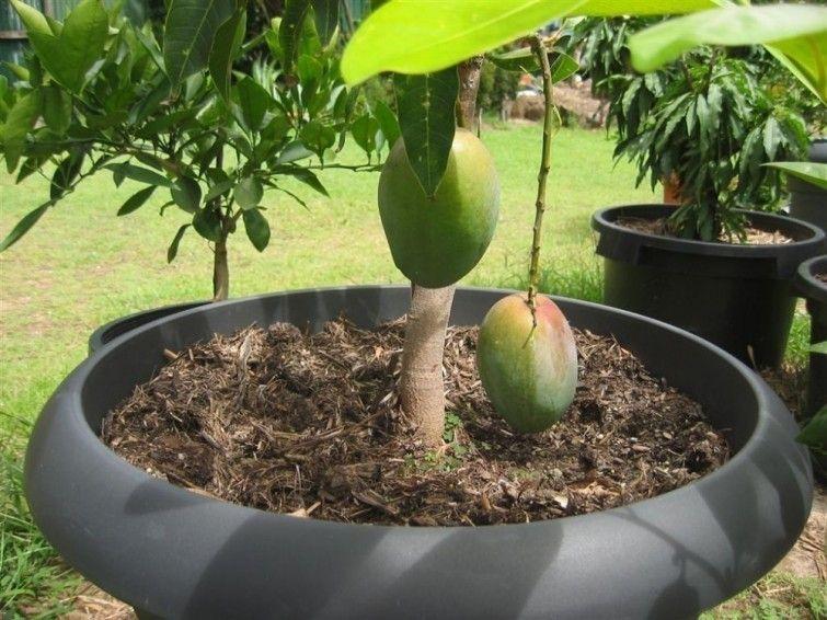 C mo cultivar mango en macetas naturaleza frutas en macetas huerta en macetas y frutales en - Como plantar arboles frutales ...