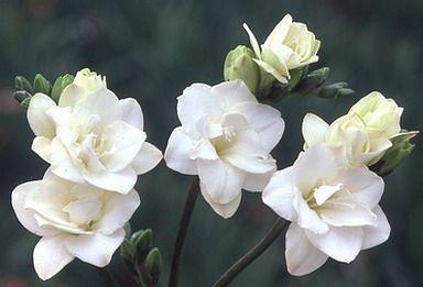 Kalliergeia Frezias Freesia Flowers Easy To Grow Bulbs Freesia